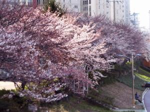釜山 温泉場・河川敷遊歩道の桜